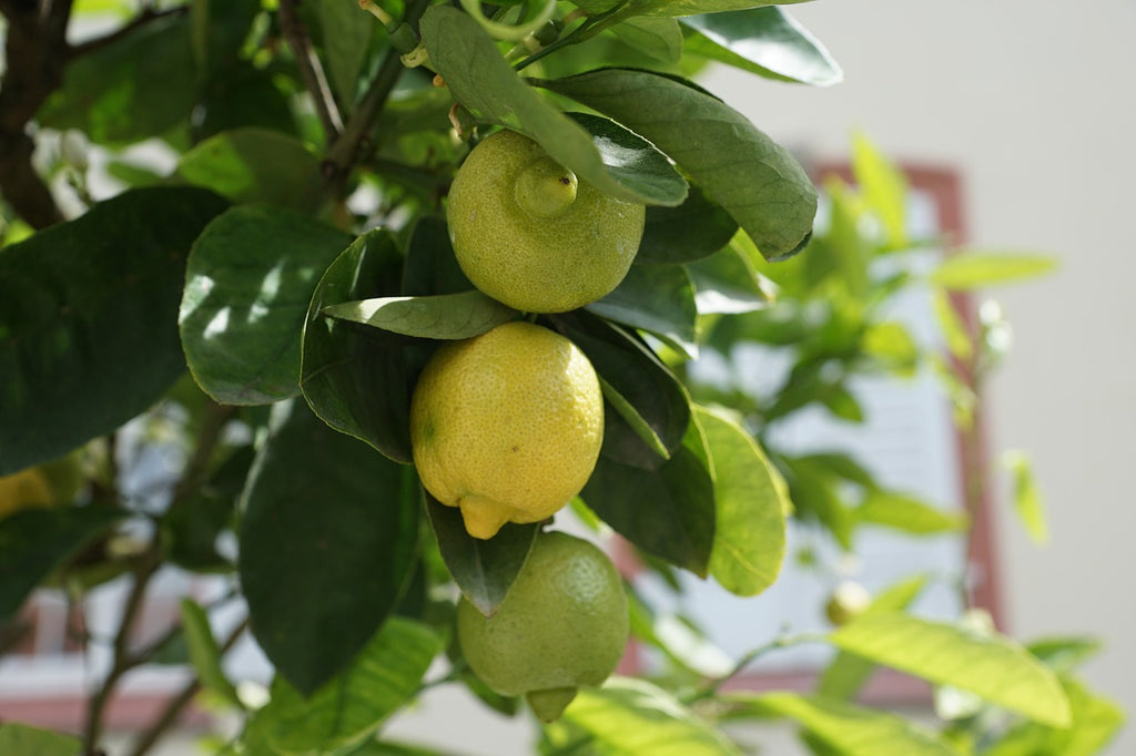 Preparing for Spring? Here's 7 Tips to Transition Your Meyer Lemon