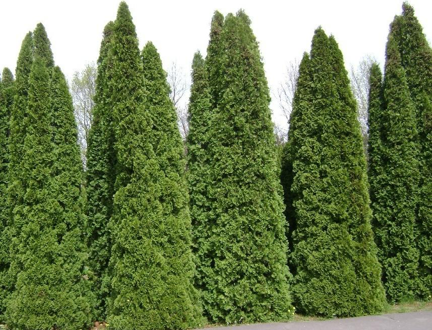 Plant Care 101: Thuja Green Giants