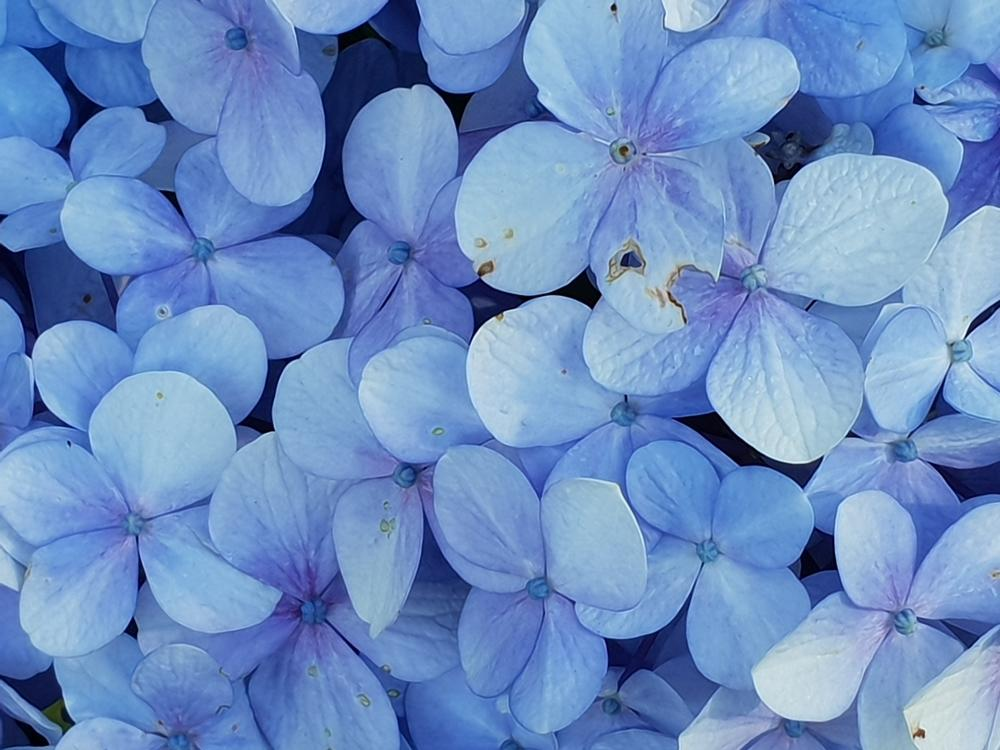 Plant Care 101: Limelight Hydrangea Tree