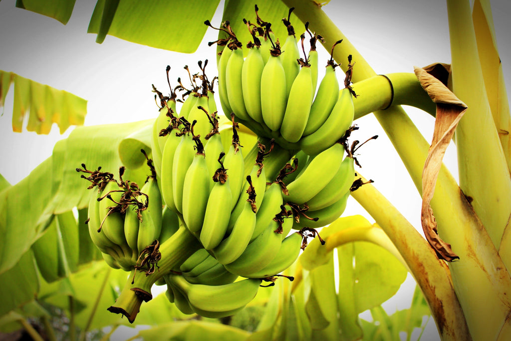 Banana Trees: Tips and Tricks for Tons of Fruit
