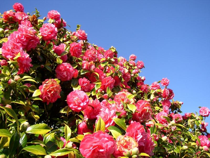 Camellias: History, Planting and Care