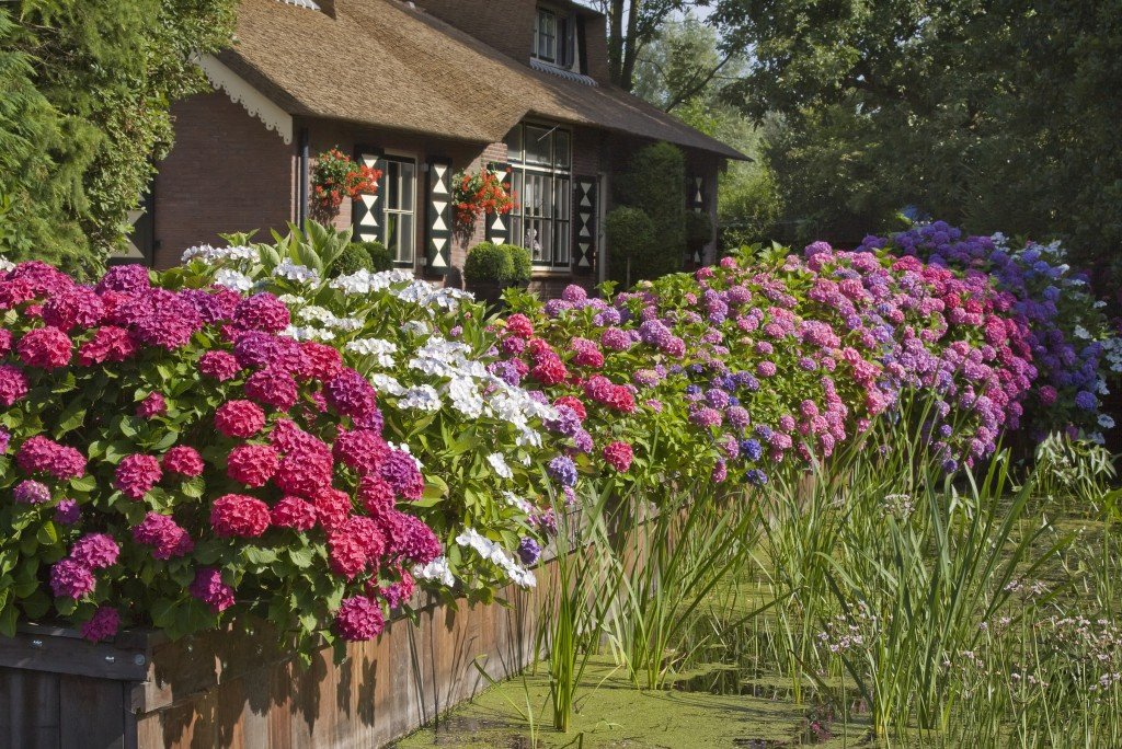 Hydrangeas: The Complete Guide for Months of Blooms