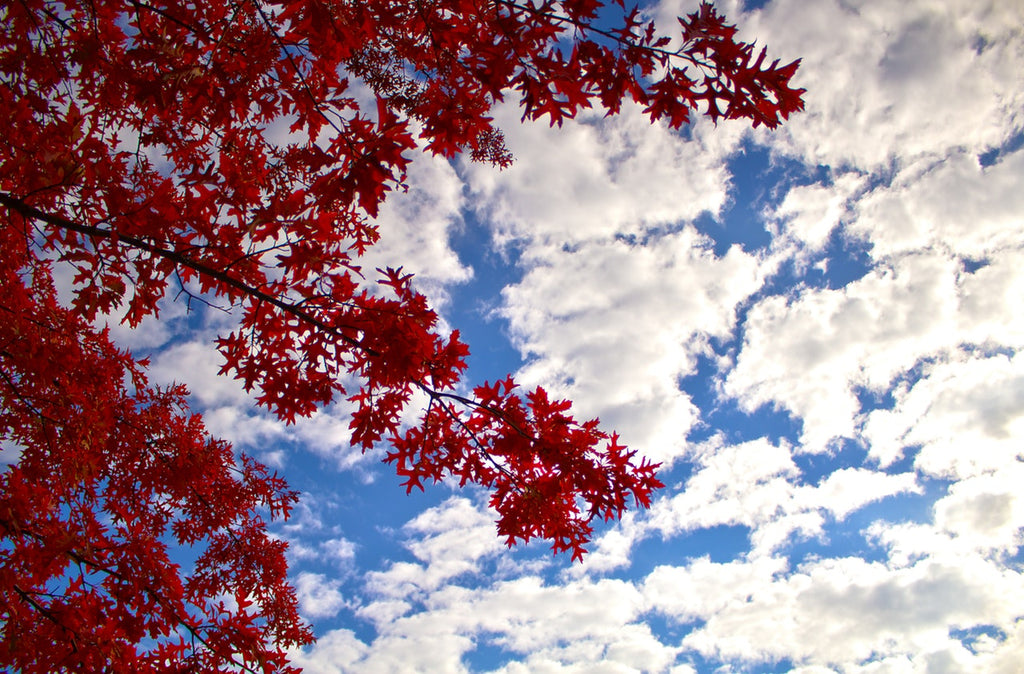 Autumn Blaze Maples: What are the Benefits?