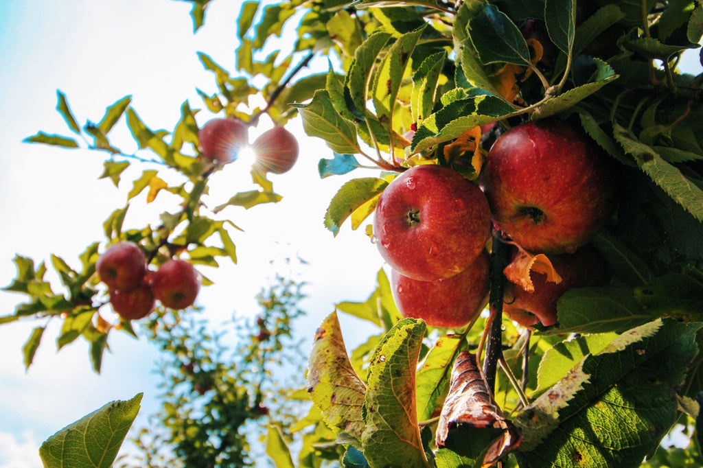 Fall Color: Top Fruit Trees for Fall Harvest
