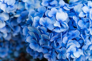 Blue Flowering Shrubs