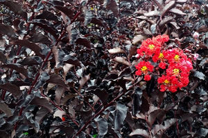 Dark Foliage Crape Myrtles