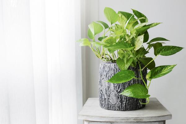 Air Cleaning Houseplants