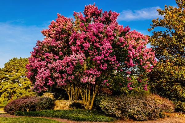 Large Crape Myrtle Trees (>20' tall)