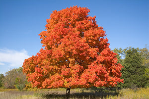 Maple Trees Larger than 20 Feet Tall