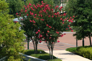 Medium Crape Myrtle Shrubs & Trees (5-20' tall)