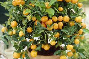 Citrus Trees for California and Louisiana ONLY