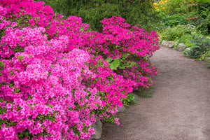 Pink Flowering Shrubs