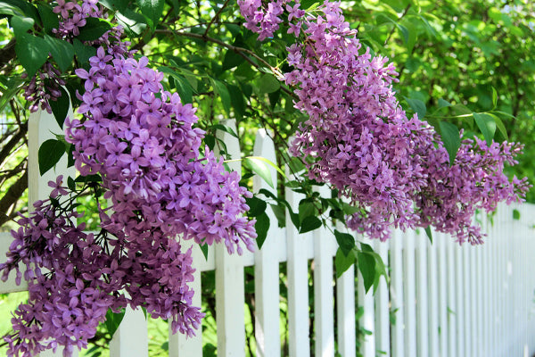 Purple Flowering Shrubs