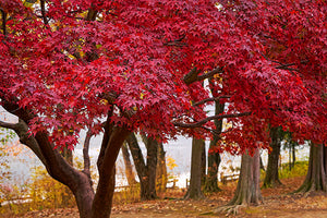 Maple Trees with Red or Orange Fall Color