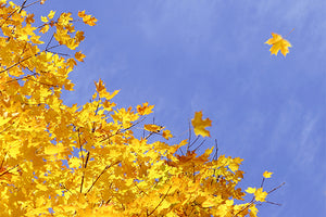 Maple Trees with Yellow Fall Color