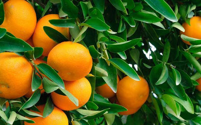 Fruit Trees For Sale Fastgrowingtrees Com