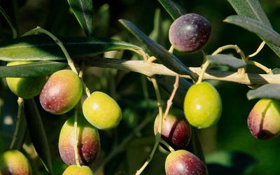 Fruit Trees for Sale | FastGrowingTrees com