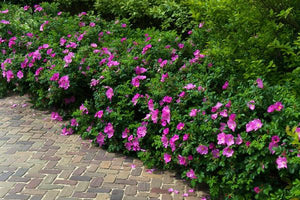 Groundcover Roses