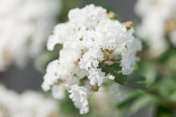 White Crape Myrtles
