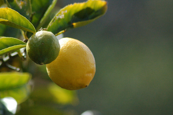 Lemon Trees for Summer