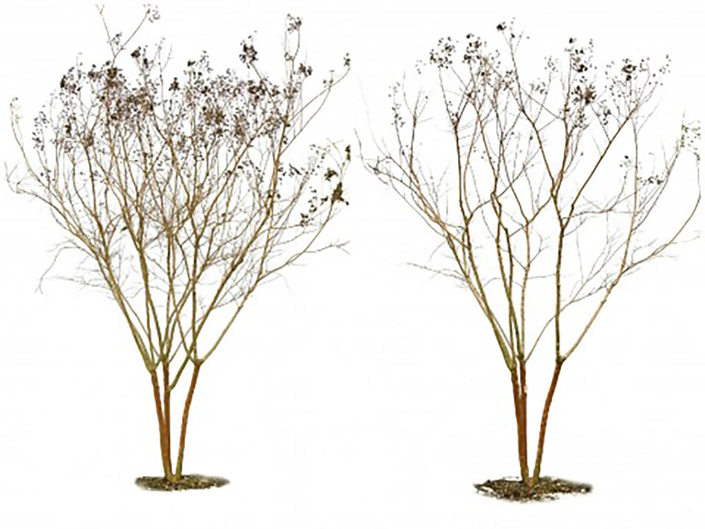 How to Prune Crape Myrtles