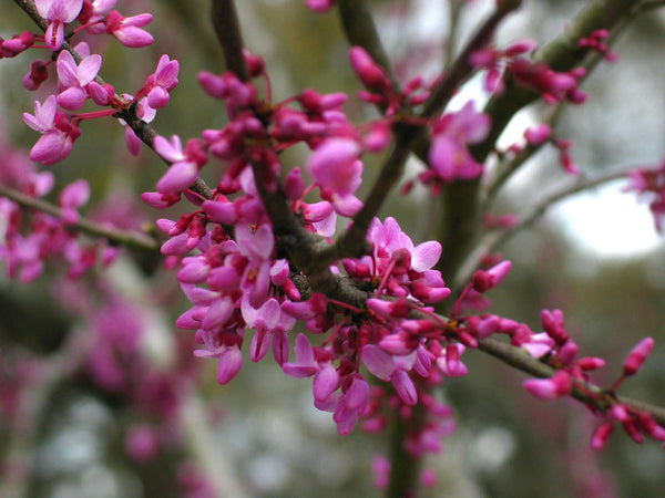 Plant Care 101 Eastern Redbud Tree Fastgrowingtrees Com