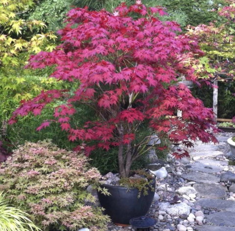 Caring for the Bloodgood Japanese Maple