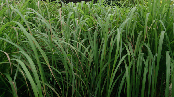 Citronella Plant and Grasses