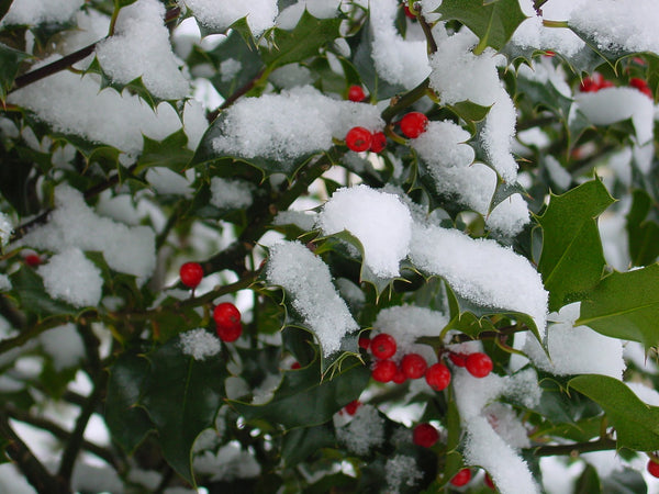 Caring for American Holly Trees