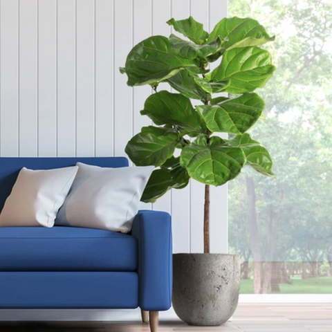 Fiddle-Leaf Fig for Cleaning the Air