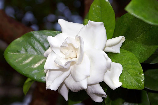 Dwarf Radicans Gardenia for Mother's Day