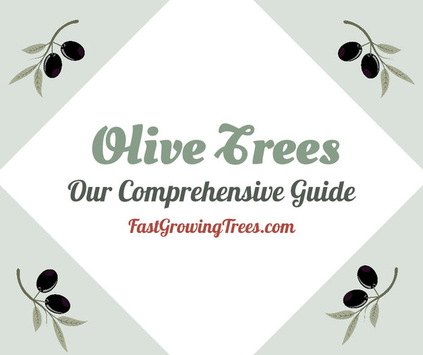 Caring for Olive Trees