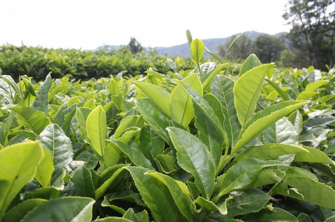 All About Cold Hardy Tea Plants