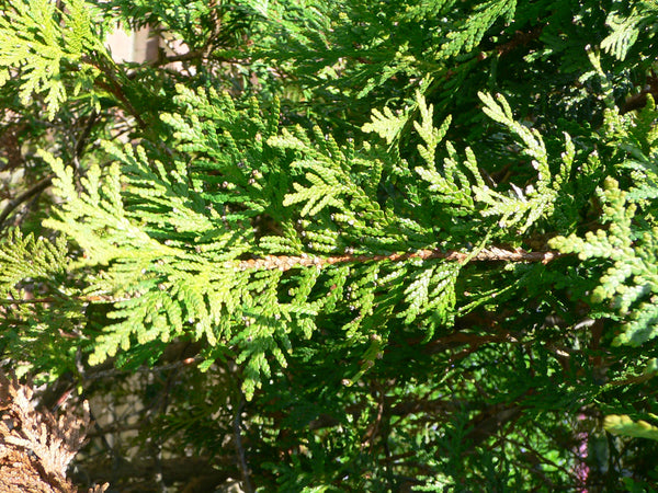 Thuja Green Foliage