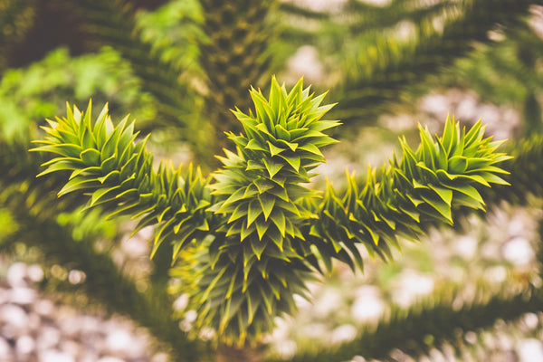 Caring for the Monkey Puzzle Tree