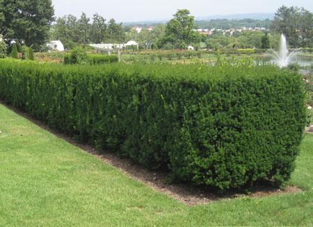 Privacy Trees 4 Top Picks For The Season Fastgrowingtrees Com