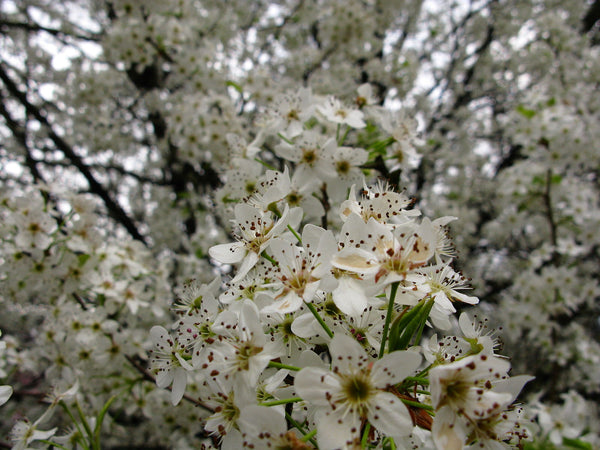 Flowering Trees Everything You Ever Wanted To Know