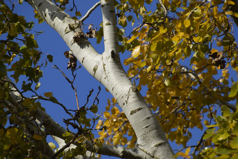 White Bark Trees and Where to Find Them