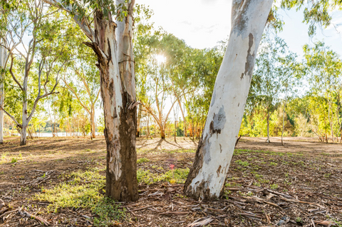 Where to Find White Bark Trees