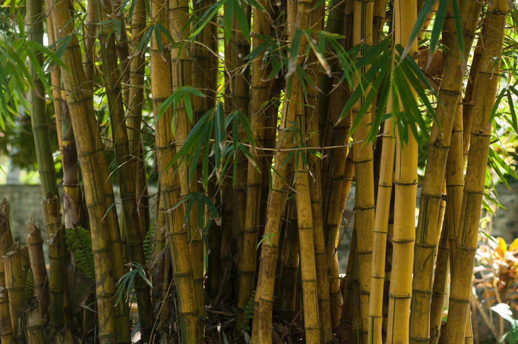 Bamboo Trees for Sale | FastGrowingTrees com