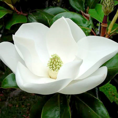 Sweetbay Magnolia Flower