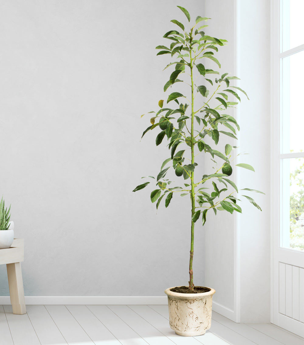 Avocado tree indoors