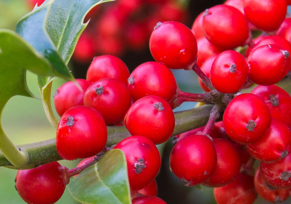 Red Holly Berries Close Up