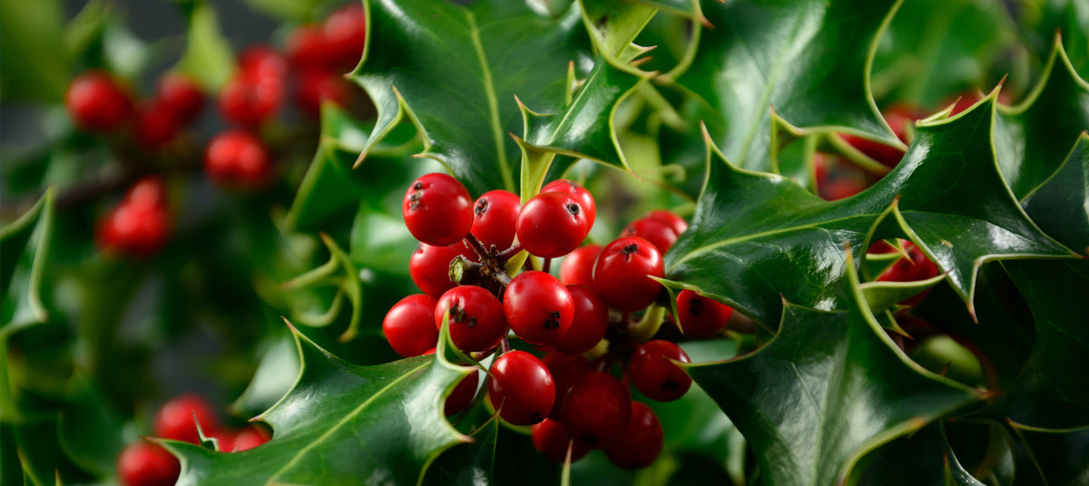 Holly Trees