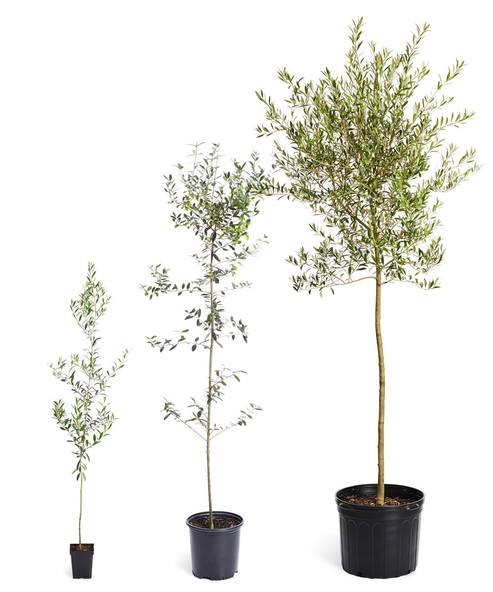 Olive Trees For Sale Fastgrowingtrees Com