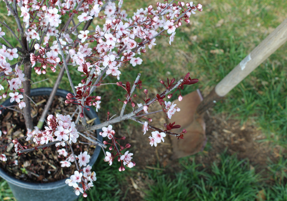 Cherry Trees Fast Growing Treescom