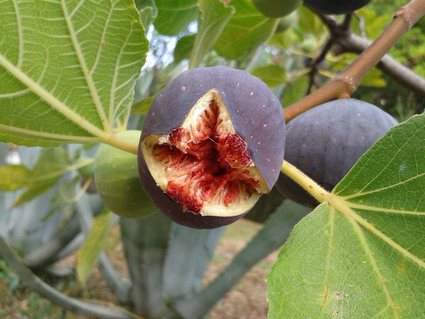Planting Fig Trees