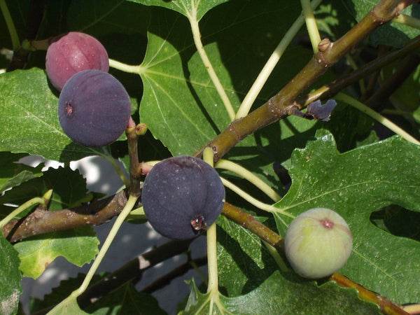 Delectable Figs