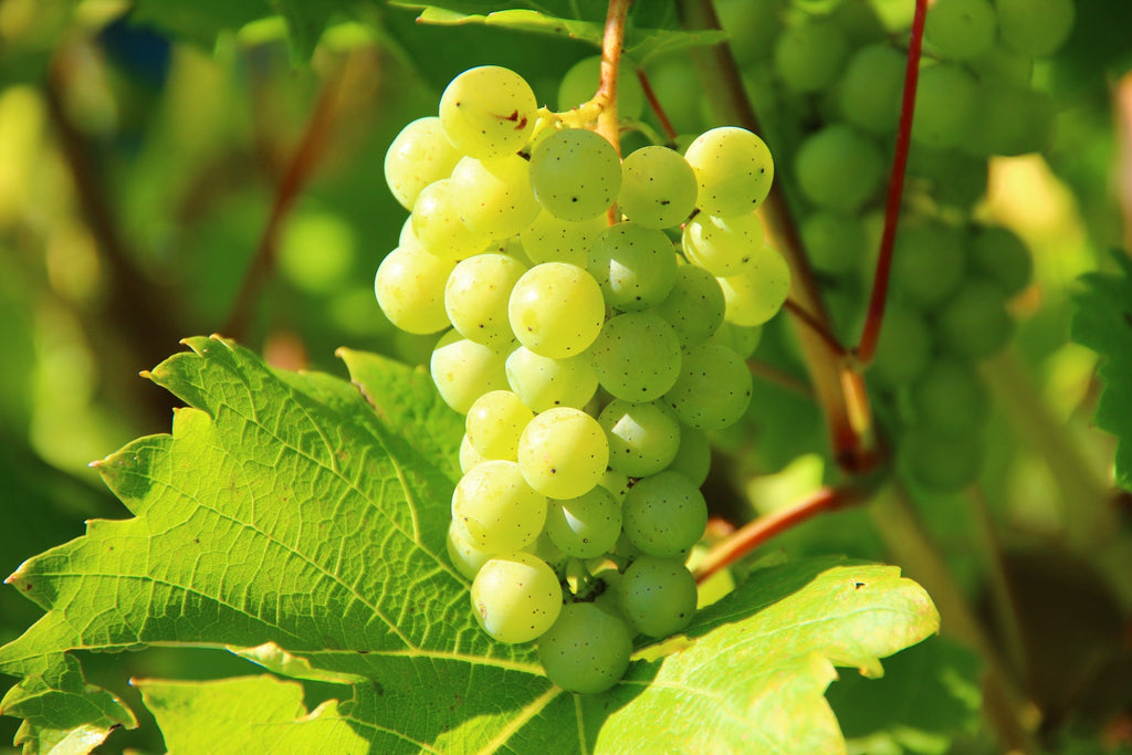 Grapes For Sale Fastgrowingtrees Com
