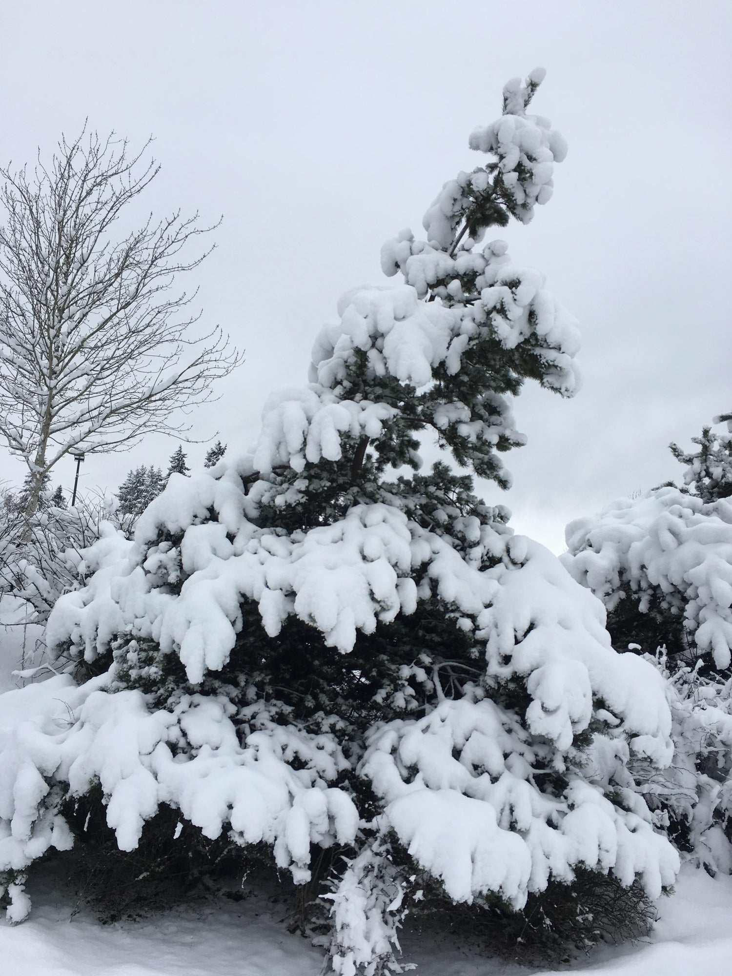 An evergreen weighed down by snow.